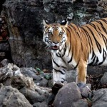 Tadoba Tour Package