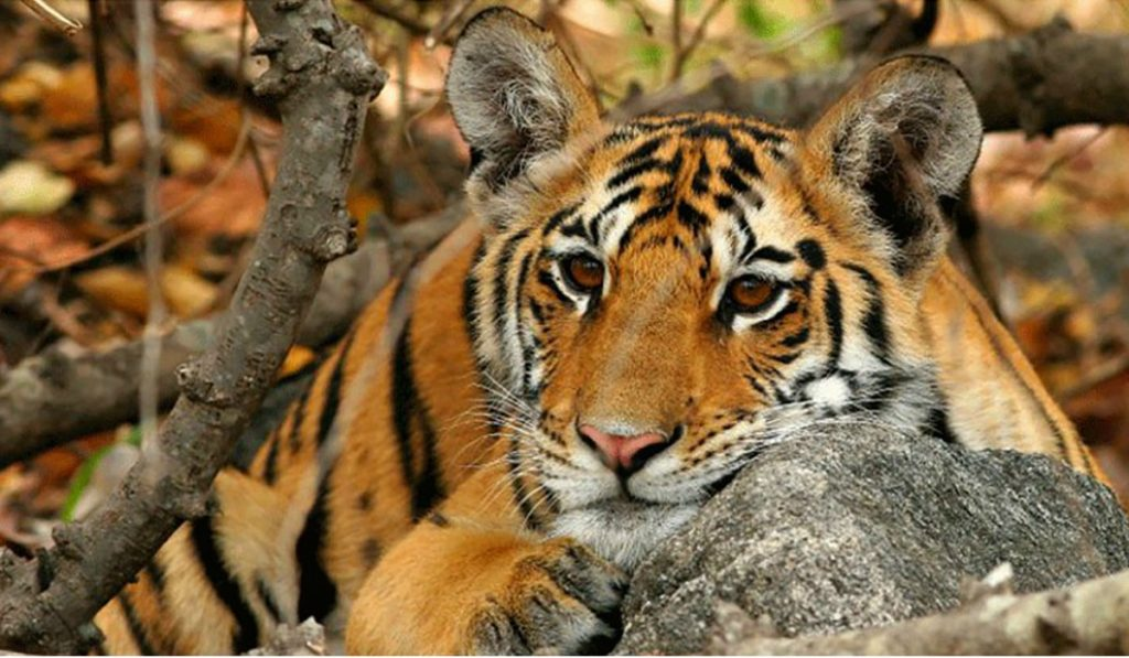 Wildlife of Tadoba National Park