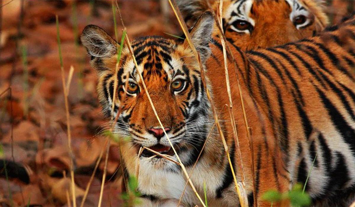 Wildlife of Tadoba National Park